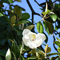 Magnolia Blooming 4 by Ruth Housley