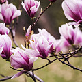 Magnolia Blooming In An Early Spring by Vishwanath Bhat