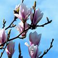 Magnolia Blooms by Baggieoldboy