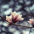 Magnolia Blossom 2 by Lilia D