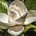 Magnolia Blossom 4 by Mark Fuge