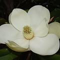 Magnolia Blossom 5 by Megan Cohen