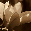 Magnolia Blossom Bw by Susanne Van Hulst
