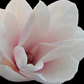 Magnolia Blossom I by Judith Turner