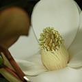 Magnolia Blossom by Megan Cohen