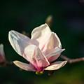 Magnolia Blossom by Rita Anthony