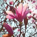 Magnolia Blossoms by Deborah Napelitano