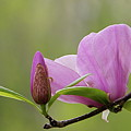Magnolia Bud And Blossom by Byron Varvarigos