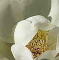 Magnolia by Cathi Abbiss Crane