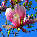 Magnolia Flower by Amy Vangsgard