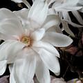 Magnolia Flower by Guido Strambio