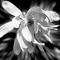 Magnolia Flower In Black And White by Smilin Eyes  Treasures