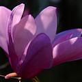 Magnolia Flower by Susanne Van Hulst