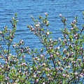 Magnolia Flowering Tree Blue Water by Rockin Docks Deluxephotos