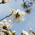 Magnolia Flowers White Magnolia Tree Art 2 Blue Sky Giclee Prints Baslee Troutman by Baslee Troutman