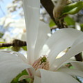 Magnolia Flowers White Magnolia Tree Flower Art Spring Baslee Troutman by Baslee Troutman