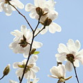 Magnolia Flowers White Magnolia Tree Flowers Art Spring Baslee Troutman by Baslee Troutman