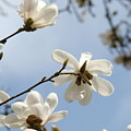 Magnolia Flowers White Magnolia Tree Spring Flowers Artwork Blue Sky by Baslee Troutman