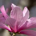 Magnolia Galaxy 7044 by Terri Winkler