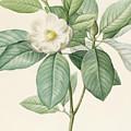 Magnolia Glauca by Pierre Joseph Redoute