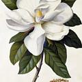 Magnolia Grandiflora by Georg Dionysius Ehret
