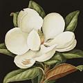 Magnolia Grandiflora by Jenny Barron
