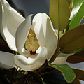 Magnolia Grandiflora by Zina Stromberg