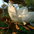 Magnolia by Heather S Huston