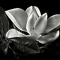 Magnolia in Black and White by Endre Balogh