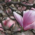 Magnolia by Judy Whitton