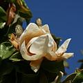 Magnolia by Liz Vernand