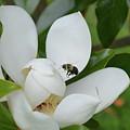 Magnolia by MHmarkhanlon