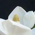 Magnolia by Nancy Ingersoll