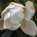 Magnolia No 1 by Edward Ruth