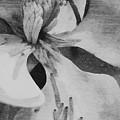 Magnolia by Robert Brown
