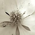 Magnolia by Shannon Turek