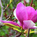 Magnolia  by Steve Harrington