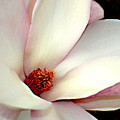 Magnolia by Steve Karol