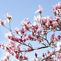 Magnolia Tree Against Blue Sky by Carol Sweetwood