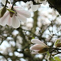 Magnolia Tree Flowers Pink White Magnolia Flowers Spring Artwork by Baslee Troutman