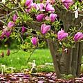 Magnolia Tree by Karol Livote