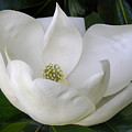 Magnolia Unfolding by Lucyna A M Green