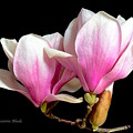Magnolias In Spring Bloom by Jeannie Rhode