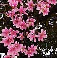 Magnolias In Spring by Poet's Eye