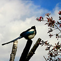 Magpie by Anthony Jones