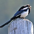 Magpie In The Sun by Heidi Fickinger