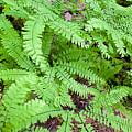 Maidenhair Ferns In Columbia River Gorge Closeup by Jit Lim
