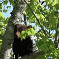 Maine Black Bear Cub In Tree by Sharon Fiedler