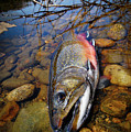 Maine Brookie by Kevin Couture