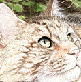 Maine Coon Cat by Carol Moore